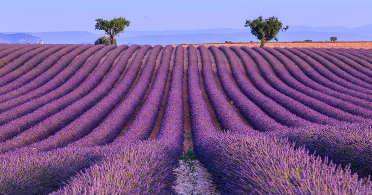 Lavendel: Infos Und Wissenswertes