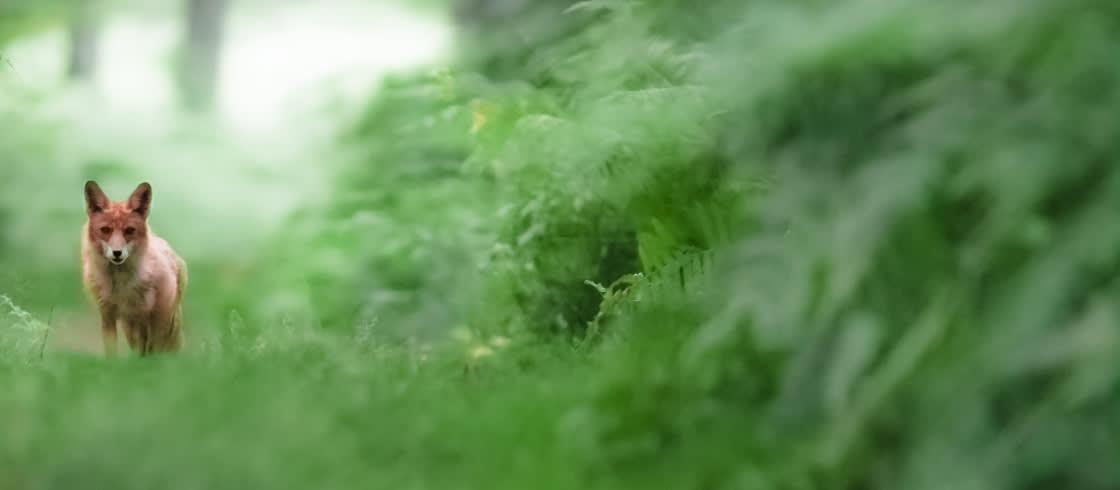 Oog in oog met een vos in de Franse bossen