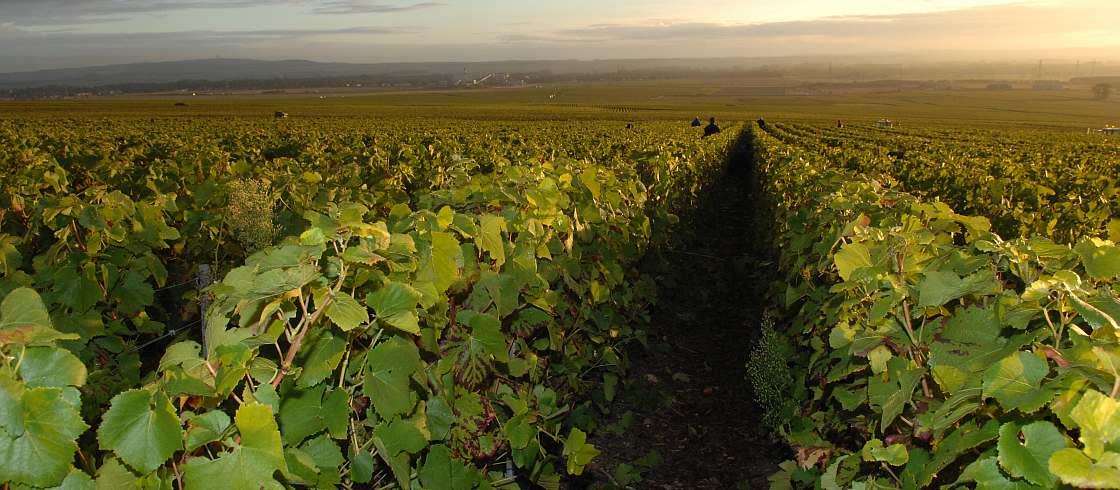 Veuve Clicquot House har nästan 400 hektar vingårdar i Champagne.