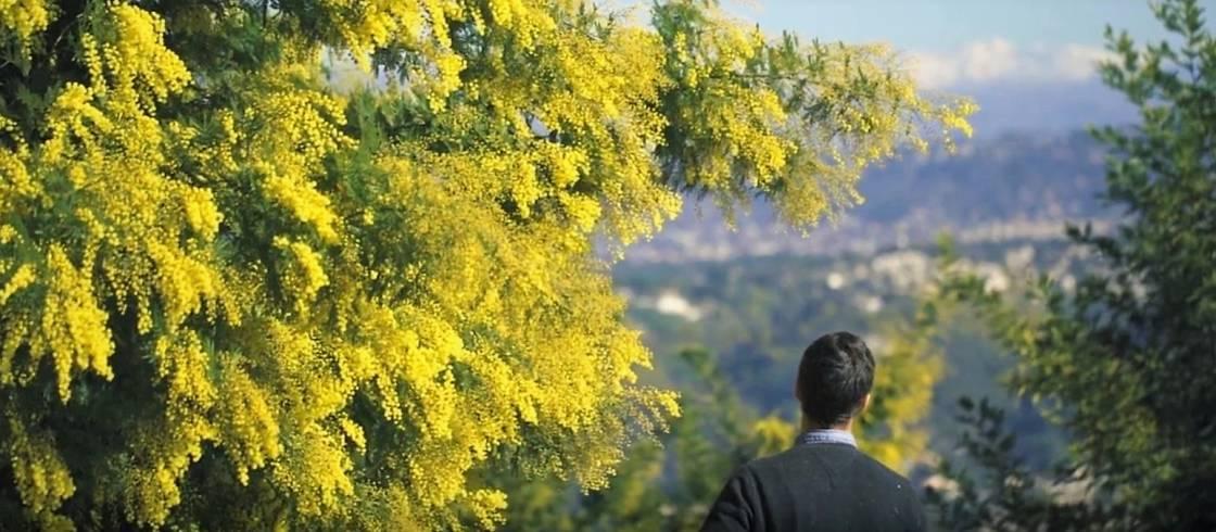 Le mimosa, star de l'hiver sur la Côte d'Azur.
