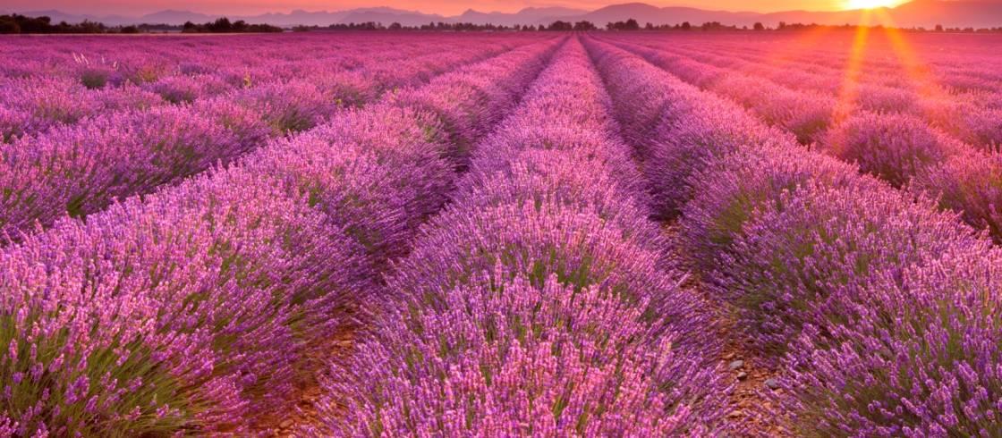 image__header__lavendelvelden-in-de-provence__cistock-sara-winter-webjpg