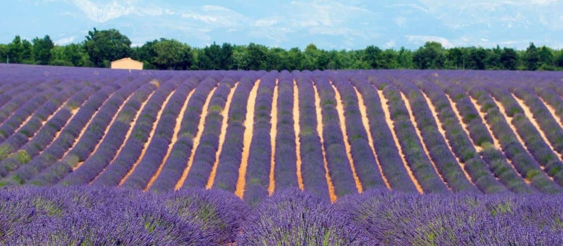 Lavendelvelden op het Plateau de Valensole.