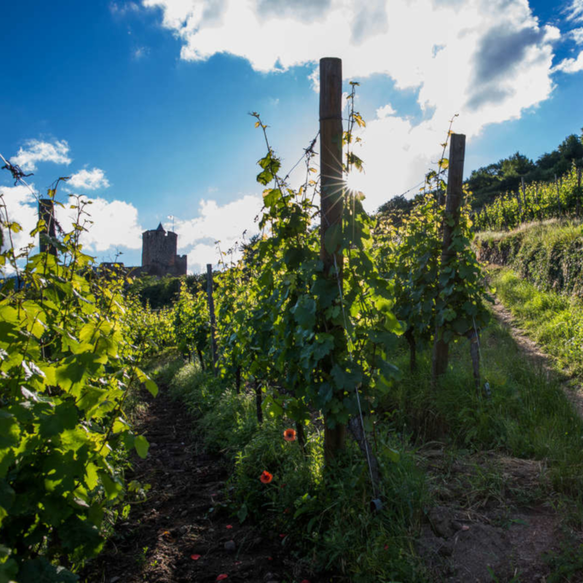 Vignoble Kaysersberg-©AAA-Meyer-crop