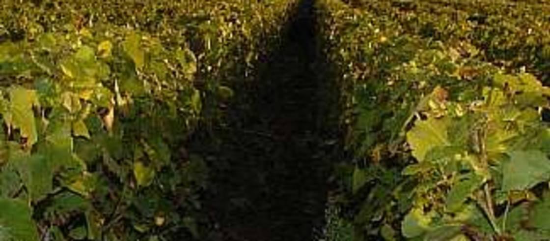 凱歌香檳公司(Maison Veuve Clicquot)在香檳地區擁有近400公頃的葡萄園。