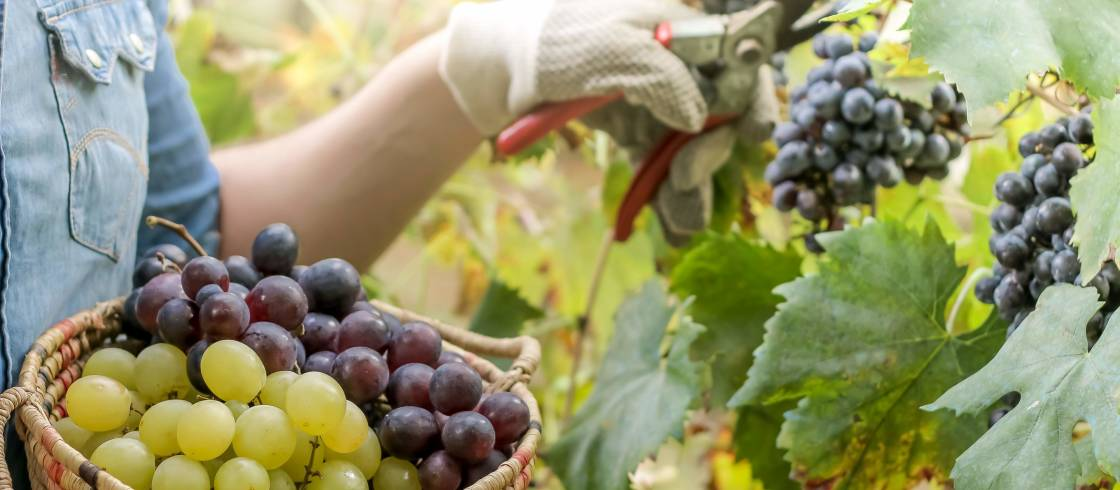 8 Champagne producer to grape harvest for
