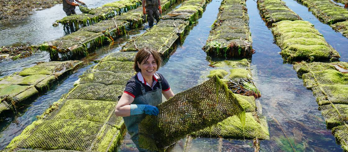 Ostricultura en el golfo de Morbihan